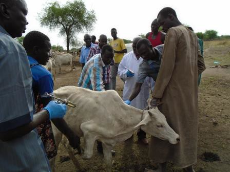 Some of the trainees taking practical lessons during the training at an animal farm in Terekeka. Photo credit: SAADO