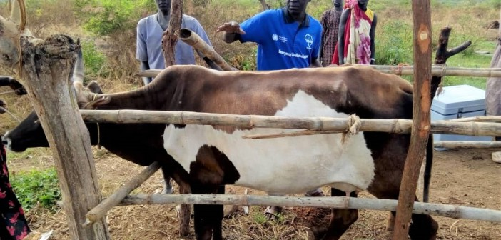 Over 1980 Herds of Cattle Vaccinated in Morijok Cattle Camp-Rajaf Payam by SAADO